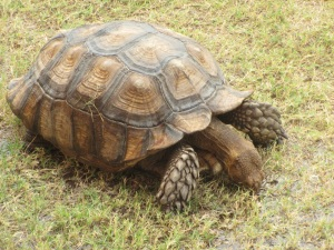 School tortoise; slow but enduring