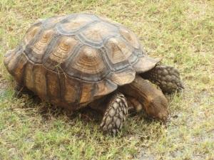School tortoise; slow but enduring